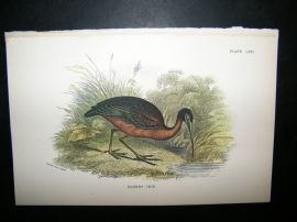 Allen 1890's Antique Bird Print. Glossy Ibis
